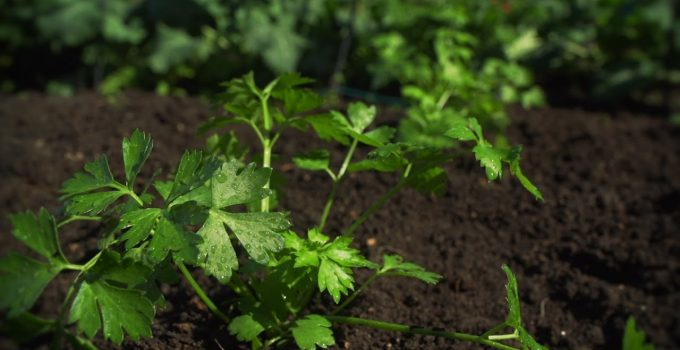 How To Grow Celery And Watercress